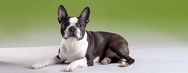 bostonterrier-topp